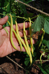 'Soliel' Bush Beans 3
