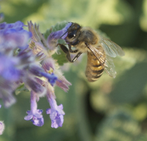 Honeybee Gathering Nectar from Catmint Flowers