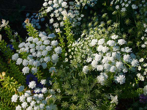 'Ammi major' (Bishop's Lace)—a non-invasive relative of Queen Anne's Lace
