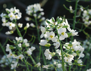 Broccoli Flowers for Attracting Beneficial Insects