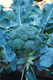 Broccoli Varieties—'Fiesta'