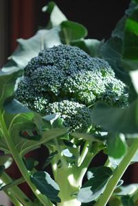 Broccoli Varieties—'Marathon' 1