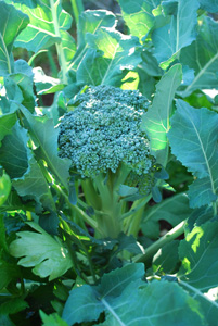 Broccoli Varieties—'Waltham 29'