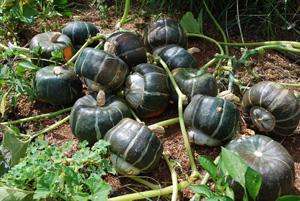 Buttercup Squash 'Bonbon' Harvest
