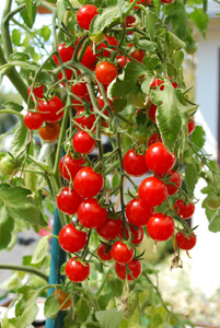 Cherry Tomato Varieties—'Sweet 100' 1