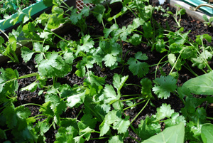 Growing Cilantro 'Slow Bolt' in a Salad Table 2