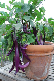 Growing Eggplant 'Farmer's Long Purple'<br/> in a Clay Pot