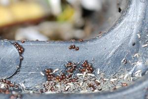 Springtails, Springtail Nymphs, <br/>and Orabitid Turtle Mites