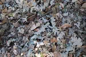 Dry Tree Leaves