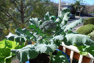 Container Broccoli 3