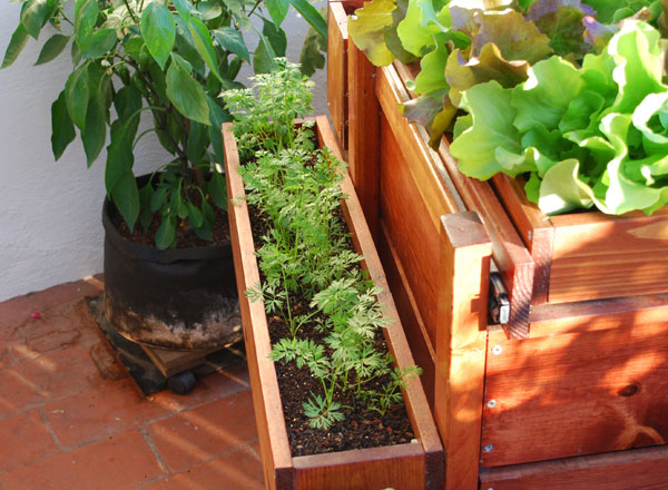 Growing Carrots in a Window Box
