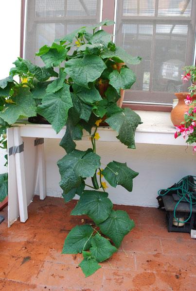 Elegant Container Cucumber U0027Bush Sliceru0027