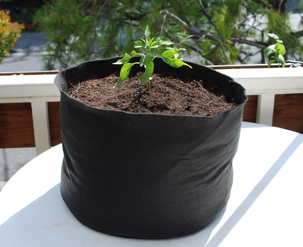 U0027Early Jalapenou0027 Grown In A 7 Gallon Smart Pot With Organic Soil  Amendments. U0027