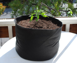 'Early Jalapeno' Grown in a 7-gallon Smart Pot with Organic Soil Amendments