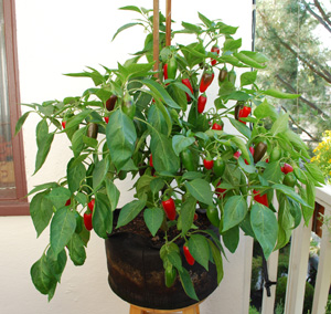 'Early Jalapeno' Grown with Organic Soil Amendments