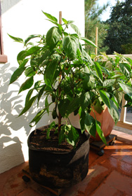 'Early Jalapeno' in a 7-gallon Smart Pot with Organic Soil Amendments, 3 Months After Transplanting