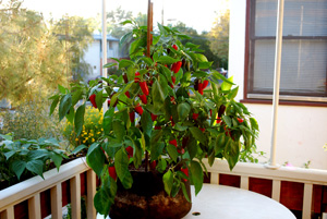 'Early Jalapeno' Growing in a 7-gallon Smart Pot with Organic Soil Amendments, 3 Months after Transplanting 2