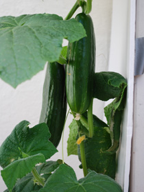 Cucumber Varieties—'Bush Slicer' in a Terra Cotta Pot