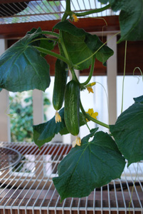 Growing Cucumbers in Containers:  'Bush Slicer', First Fruit