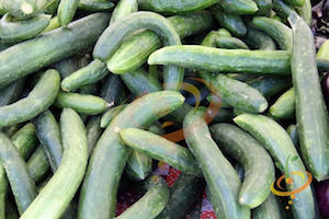 'Chinese Snake' Cucumber is a prolific, burpless Chinese cucumber.