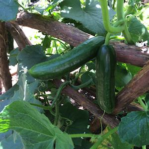 'Green Fingers' Persian Cucumbers