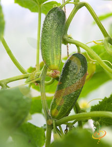 'Spacemaster' Slicing Cucumbers are compact and ideal for container gardens.