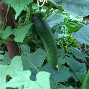 'Straight 8' heirloom slicing cucumber