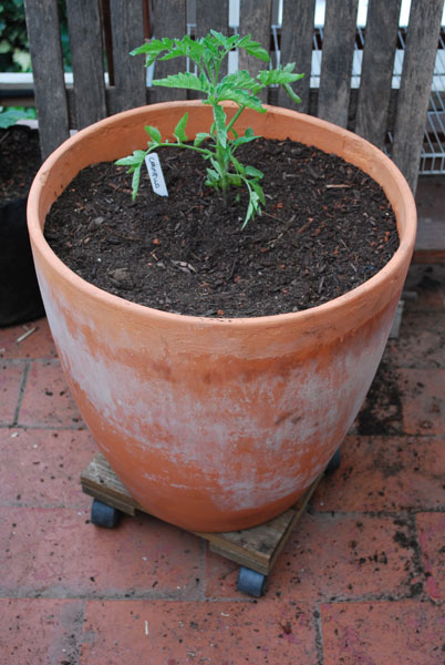 Carmello Tomato Growing In A 15 Gallon Terra Cotta Pot