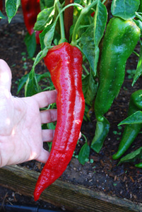 'Carmen' Bull's Horn (Corno di Toro) Pepper, hand