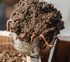 Fresh Worm Castings with Red Compost Worms