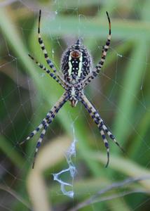 Garden Spider</em>