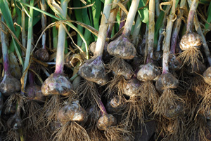 Harvesting Garlic 'Inchileum Red'
