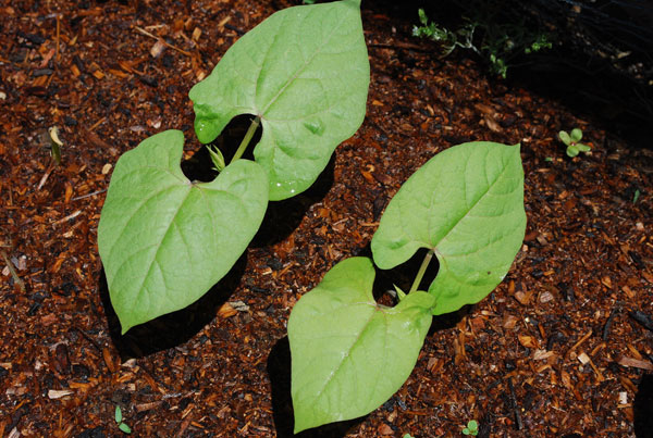 'Dragon Tongue' Green Bean Seedlings