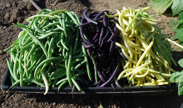 Green Bean Varieties, Types of Green Beans