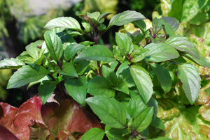 Basil Varieties—'Mexican Cinnamon'