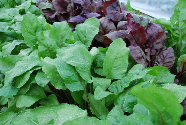 How To Grow Vegetables Without Toxic Chemicals, Growing ...