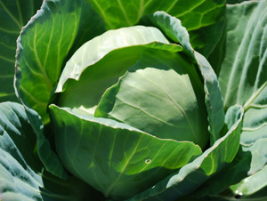 'Mini' Cabbage Varieties—'Gonzales'