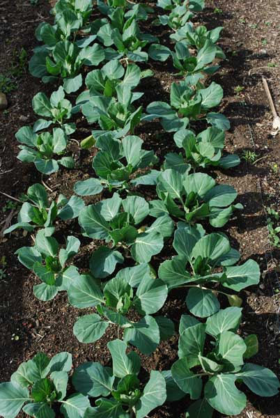 Mini Cabbages On 14 35cm Centers In A Deep Dug Bed Steve Masley Click Image To Enlarge