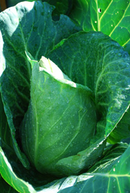 'Caraflex' Cabbage