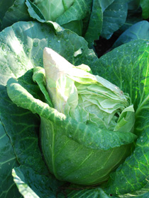 Splitting Cabbage
