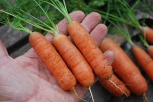 Growing Carrots—'Babette', Size