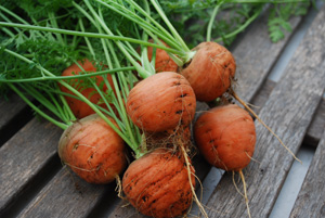 Growing Carrots—'Romeo'