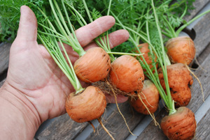 Growing Carrots—'Romeo', Size