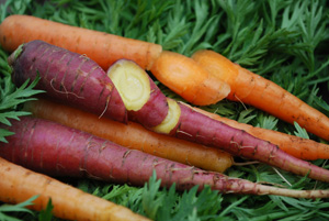 Growing Carrots—'Yaya' and 'Purple Dragon'