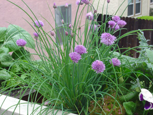 Growing Chives in a Window Box