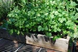 Growing Cilantro in a Salad Table Tray