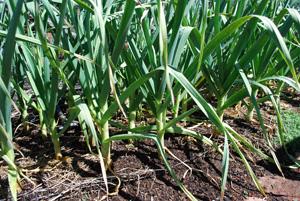 Growing Garlic—'Music'