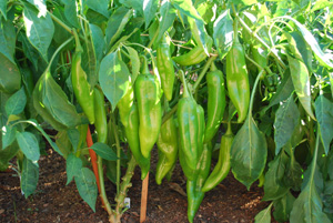 Hot Pepper Varieties—'Big Jim'