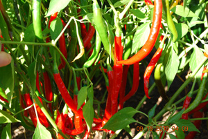 Hot Pepper Varieties—'Long Thin Cayenne'