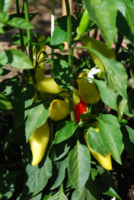 Hot Pepper Varieties—'Hungarian Hot Wax'